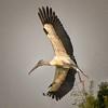 <b>Title - Wood Stork in Flight</b> <i>- Herbert Zaifert</i>