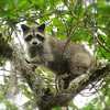 <b>Title - Raccoon</b> <i>- Joe Dell</i>