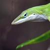Description - Green Anole <b>Title - Lizard</b> 1st Place <i>- Harvey Mendelson</i>