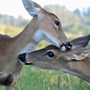 Mom and Fawn Cuddling At Dawn