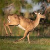 Galloping Deer 2