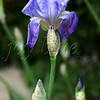 <b>In all its glory Allerton Park Iris—21 April 2012</b>  This is the realization of last week's Photo of the Week.