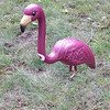 <b>That's the spirit!  Our front yard—19 October 2013</b>  The night before the MSL Conference cross country meet, a mysterious visitor arrived. The varsity boys took 2nd at Conference, 1st at Regionals, and 3rd at Sectionals (varsity girls took 1st in all three!). So, the flamingo is standing guard at least through the State meet this weekend. Go, Pirates!