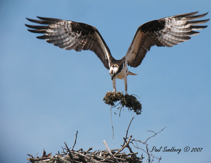 Osprey Return To Highland Lake<br /> <br /> The Osprey returned this week and is busy working on their nest north of Highland Lake. On Monday they were hauling nesting material and rearranging home.