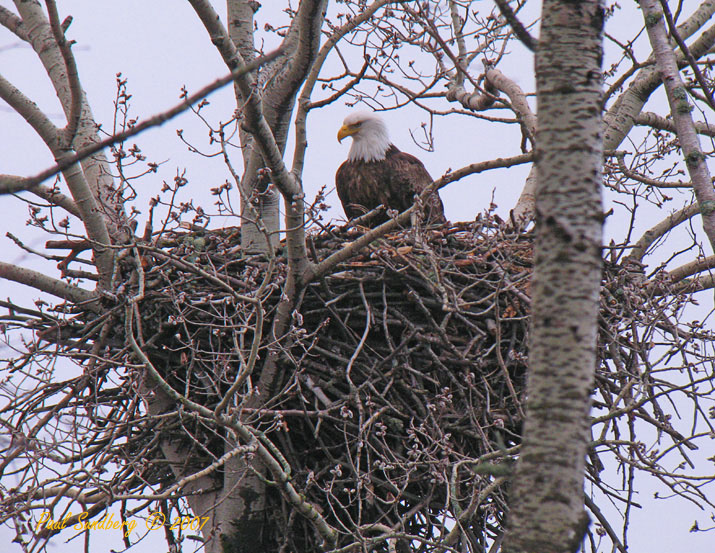 Cascade Eagles<br /> <br /> There are a lot of signs that spring has arrived on the North Shore. The eagles have returned and are busy fixing up their nests. There are several eagle nests along the North Shore as their population increases. The attached photo was taken at Cascade River State Park yesterday.