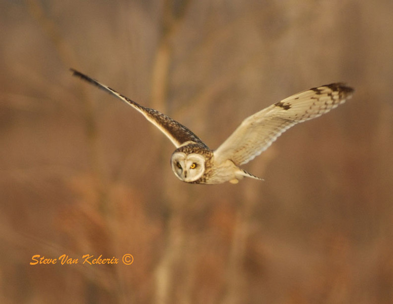 On the way home we drove through Carlos Avery Game Refuge to try to see the short-eared owls that winter there. A friend told us that they hang out on Pool 9 road and come out right before sunset. Along with about half a dozen other photographers we sat along side the open meadow waiting for the evening show. We were not disappointed. Just before sunset, six short-eared owls rose from the grassy meadow where they had spent the day resting. They worked the meadow in front of us searching for mice and voles. They must have caught half a dozen in the short time we watched. They are fast flyers and would chase each other on several occasions. They did some pretty fabulous acrobatics trying to out maneuver each other. We watched the owls until the bright red sun went below the horizon. It was a pretty nice day.