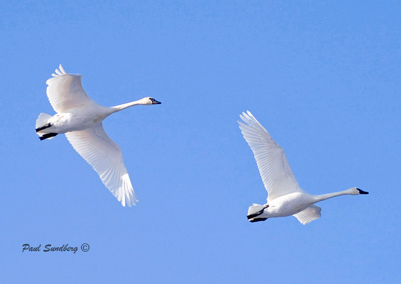 Trumpeters do trumpet. It sounded like 1,500 car horns going off simultaneously. Seeing these 25 – 35 lb birds flying overhead was awe inspiring. They are pure white and so graceful in flight. Groups of two or more flew overhead continuously for about two hours heading for Sheila's corn. About mid-April will be nest building time and the swans will start to spread out.