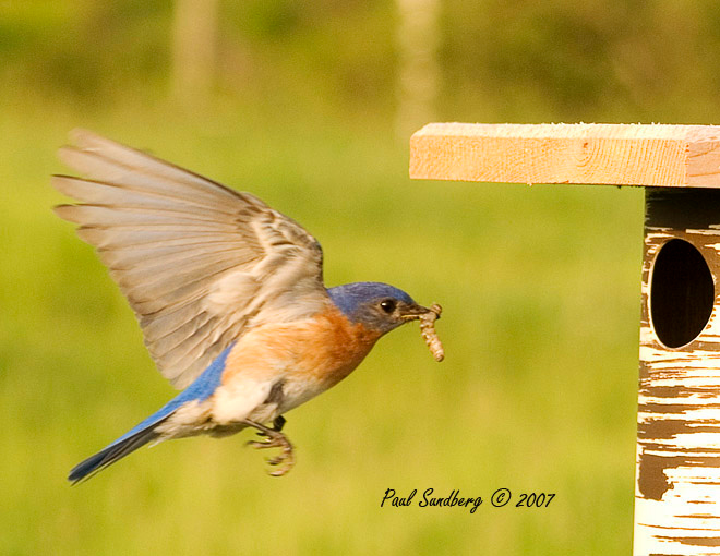 Bluebird Male Bringing Worm<br /> <br /> Both the male and female feed the young. The male with its bright blue feathers and red breast is more photogenic. If they feed the young as much all day as they do in the early morning, I would estimate that they bring around 1,500 insects to the fast growing babies each day. Attached are several photos of the young growing up and the adults bringing food.