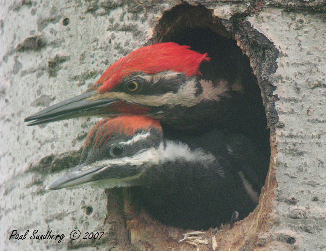 Adult and Young Pileated Woodpecker<br /> <br /> The pileated chicks are now exploring their new world. I can just imagine how exciting it must be to leave their little home in the aspen and fly out into the big world with something new to see around every corner.  <br /> <br /> I started photographing the chicks about a week ago when they started sticking their heads out of the tree. The first time I went there the adult male was in the hole with the young. When the chicks grow bigger the adults usually feed them from outside the hole. Maybe he had a momentary lapse of reason and thought the mom would feed him also. In one of the attached pictures you can see the adult above the young chick with their heads sticking out of the hole.