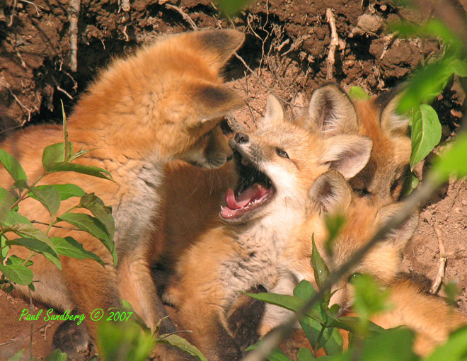 "You Have Bad Breath<br /> <br /> I was hopping that the fox kits would hang around so that more people could see them, especially the ones by the Visitor Center.  The mom built the den only about 50 feet off the sidewalk.  She must not have been very scared of people.  We even dropped trees on both sides of the den while clearing some hazardous trees and didn't even know the mother was in the den with the young. Nobody noticed them until the little ones were already a few weeks old and started coming out along the hillside to play.  We had to put a sign up ""Fox Den Please Stay Back"".  Several hundred people got to see them but now it looks like they have moved further down the hill since the den seems to be empty."