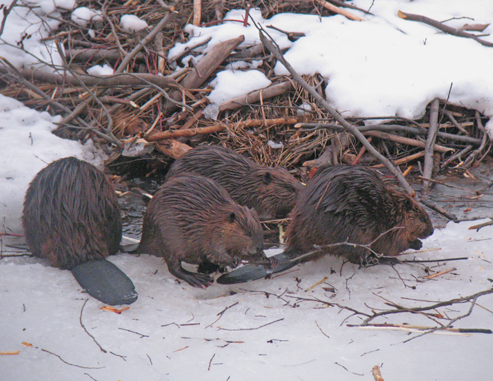 Beaver Colony<br /> <br /> With the warming temperatures our resident beavers came out from their winter home beneath the ice of the Gooseberry River. I stopped to check on them after work one evening. Almost the whole colony was out and about enjoying the spring like weather. One of the larger adults came up the hill to get a birch tree to re-supply the food pile. He didn't care that I was only 15 feet from him with my camera. His goal was food. I suppose after eating soggy bark for five months some new birch bark would be pretty tasty.