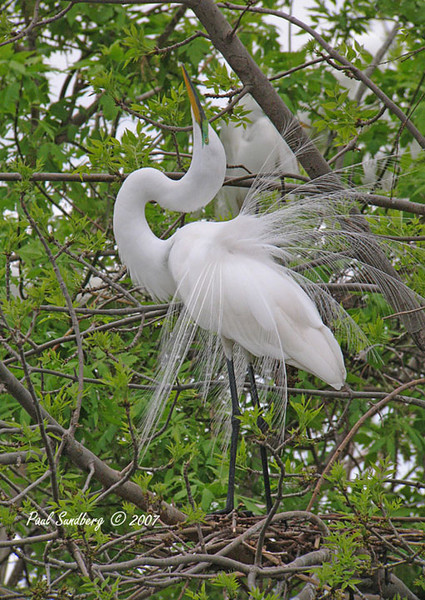Before leaving Fergus we stopped to see the Great Egrets that have a nesting rookery right in town. There must be over 50 nesting egrets on the little island in the middle of the city park. It is such a great site to see these majestic long legged birds landing in the trees.