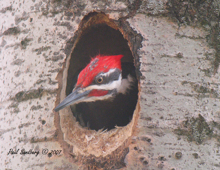 Bad Hair Day<br /> <br /> I believe the female pileated now has eggs in the nesting cavity so all is quiet until the little ones hatch.  It did take the male about two weeks to complete the nest.  That was longer than I expected.  Some days he was working so hard pounding out chips that he would take a break by hanging his head out the hole to cool off.  As the hole got deeper he had to chip from the inside and he would come out looking like he had a bad hair day.  His top crest would get caught on the sides of the cavity as he worked roughing up his feathers.