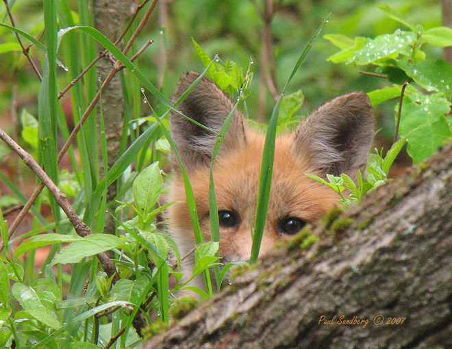This spring a fox had a den right outside the Gooseberry Visitor Center. Four fox kits were born within 50 feet of the sidewalk. They were in the brush so no one noticed them until they began to leave the den. Of the four kits two have been hit and killed by cars on Hwy 61.<br /> <br /> The mom and at least one kit still can be seen regularly. The one kit is getting quite used to people and in the early morning hours can be seen hunting mice and birds around the visitor center. Sometimes birds fly into the visitor center's windows and the fox regularly snatches them up.