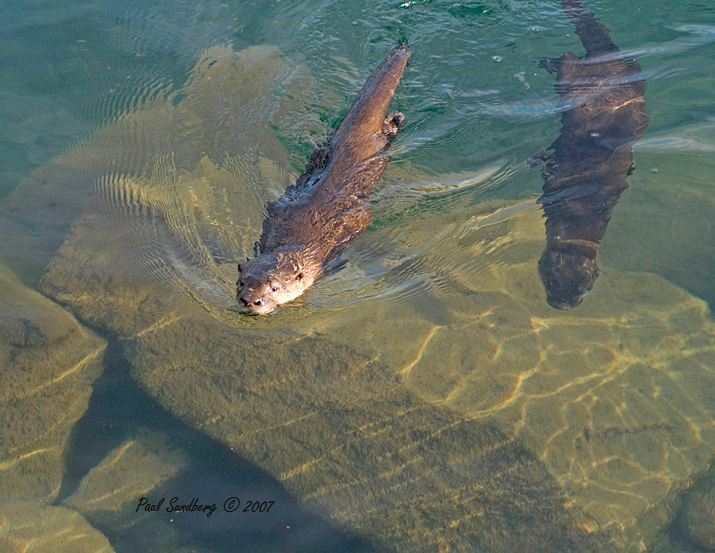 "At one point they swam right below me so I got the attached shot where the one pup is on the surface and the other is following underwater. If any of you get a chance to visit Grand Marais, don't miss the daily show put on by the family of otters. You too can have a ""two otter day""."