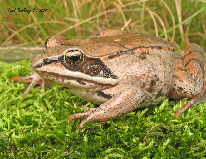 Wood Frog<br /> <br /> The wood frog was in the middle of the lawn so I moved him to the edge of the woods so he didn't get stepped on. I was able to get some close ups of him before he disappeared. Like a raccoon, the wood frog looks like it has a mask.