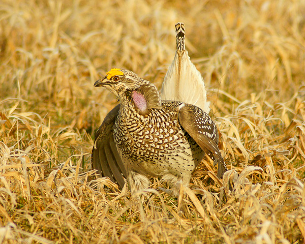 Sharp-tailed Grouse 007<br /> <br /> Notice the beautiful markings on the tail feathers. You can see why they are called sharp-tailed grouse.