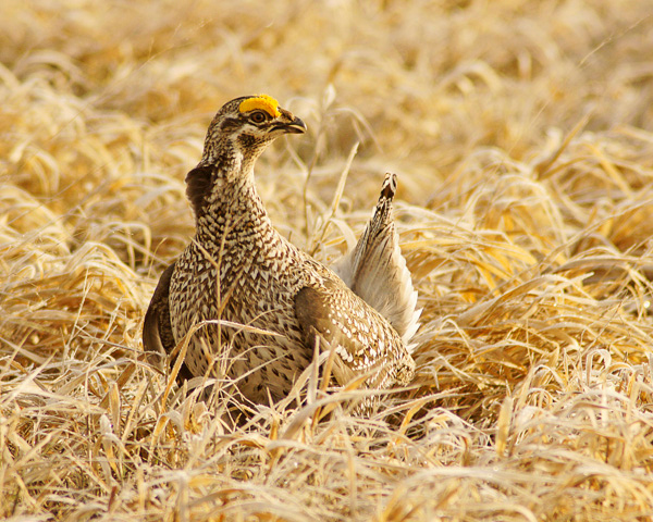Sharp-tailed Grouse 001<br /> <br /> Spring is the time of year when the North Shore comes alive with wildlife. Eagles and osprey have returned to their nests. The ruffed grouse are back checking out their drumming logs and sharp-tailed grouse are dancing up a storm.