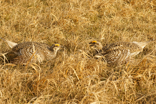 Sharp-tailed Grouse 002<br /> <br /> If you have never witnessed the dance of the sharp-tailed grouse you should try it. For decades generations of sharp-tailed grouse coveys return year after year to the same open grassy areas called leks and perform their spring rituals.