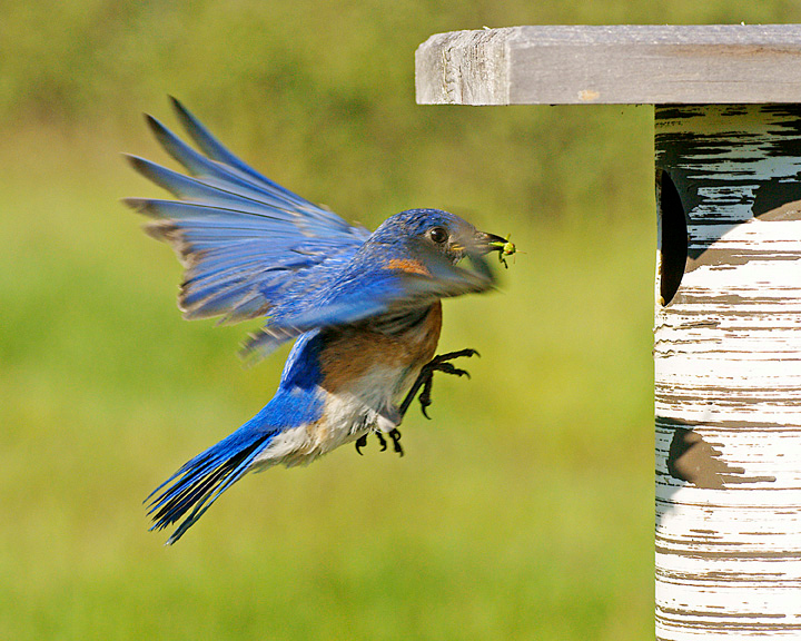 Male Bluebird with Spider<br /> <br /> To catch them on camera takes a lot of patience as they move so quickly.