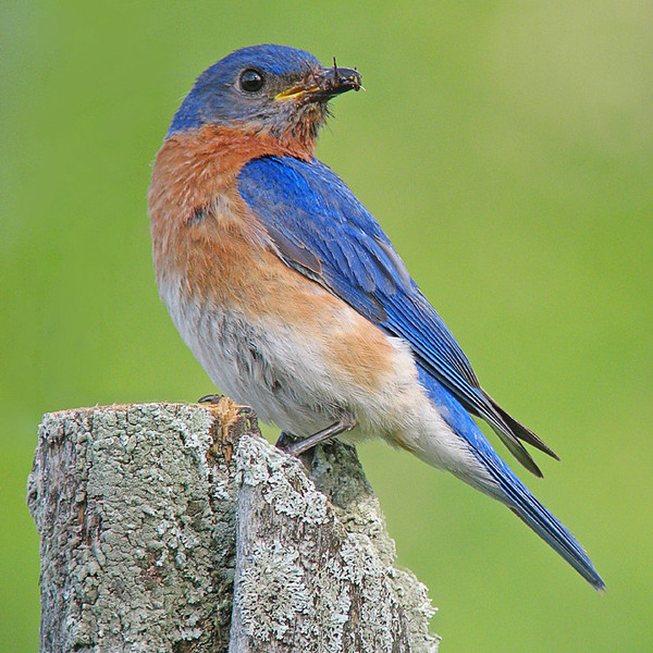 Male Bluebird with Insect<br /> <br /> Almost everyone likes seeing bluebirds. The male bluebird is one of the most beautiful birds with its striking blue feathers. We seem to be getting more and more bluebirds on the North Shore in the last few years
