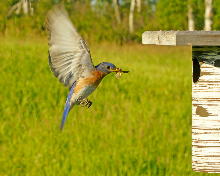 Male Bluebird with Insect<br /> <br />  It was hard to get photos of the birds flying in.