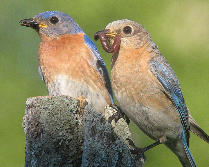 Male and Female Bluebird Feeding Young<br /> <br /> A pair of bluebirds nested nearby our house this year and I was able to watch them feed on several occasions. I set up my blind early in the morning and got photos of both the male and female feeding the young. Both parents share in parental duties.