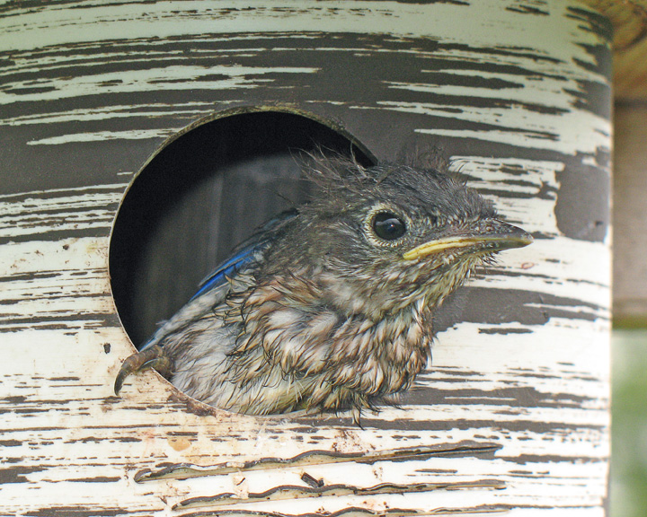 Last of Four Babies to Fledge<br /> <br /> It didn't take long for the babies to grow and exit the bluebird house to explore a whole new world. I was glad that all four babies survived to fly out of the house. They will still have a tough time for a while as very seldom do all the babies make it to adulthood.