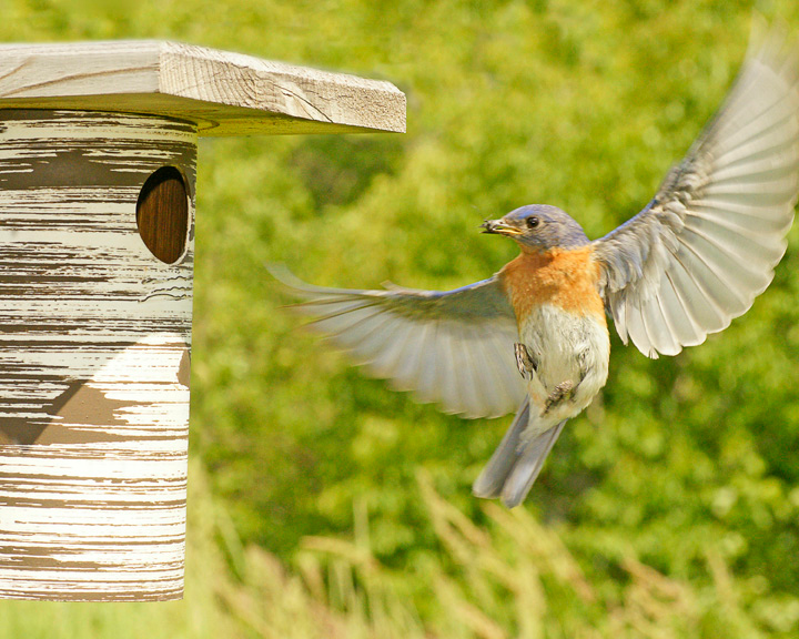 Male Bluebird coming in to Nest<br /> <br /> This male came around the side of the nesting box. To stop his wings in flight I had to take these photos faster than 1000 of a second.