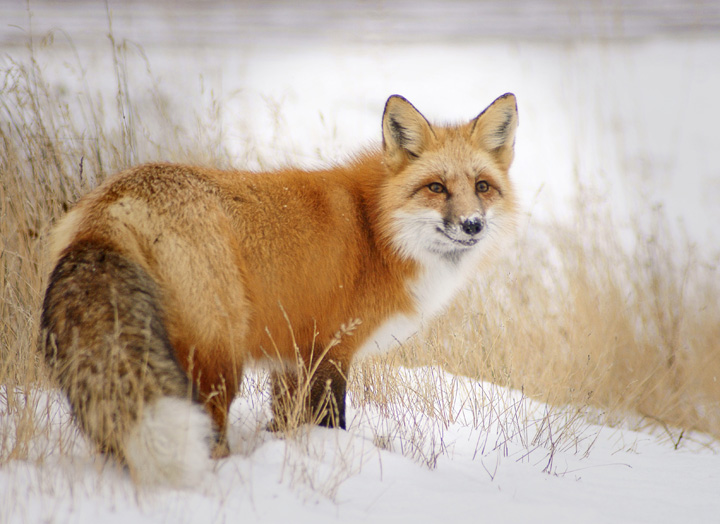 Friendly Foxes 002<br /> <br /> Red fox have beautiful winter coats and their fur makes them appear a lot larger than they really are. I love those bushy tails.