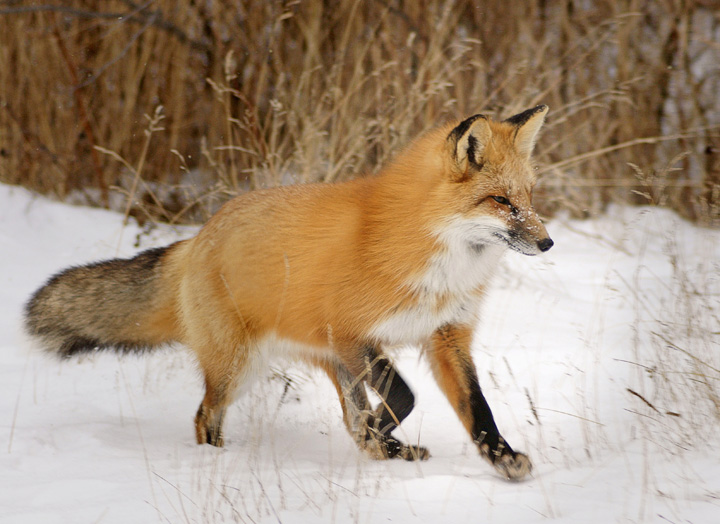 Friendly Foxes 001<br /> <br /> Five of us were at Grand Portage this weekend photographing three friendly foxes. A friend of ours, Travis Novitsky, told us that five fox kits were born this spring at the base of Mount Josephine. Three kits are still hanging around the area.