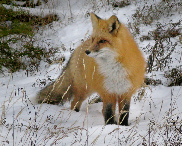 Friendly Foxes 005<br /> <br /> Karla was using a point and shoot digital camera and captured this image. She would have got more photos but she claimed one of the photographers kept getting in front of her. (I promised I wouldn't do that anymore)