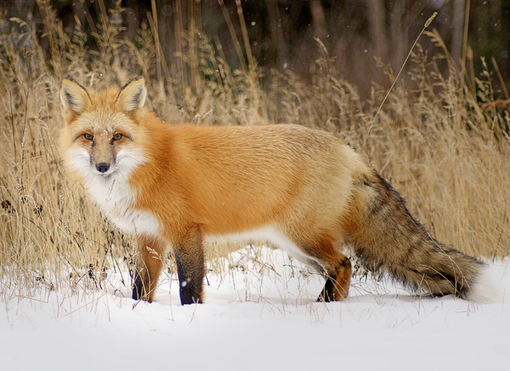 Friendly Foxes 003<br /> <br /> As a light snow fell, I was lying on the ground propped up on my elbows photographing one of the fox. Steve was getting his camera ready. His daughter, Jessie who is 4 ½, sat beside me and started to talk to the fox. She was fascinated by a close encounter with such a beautiful creature. I took a great photo while the fox just looked at her. I love sharing special outdoor experiences with kids.