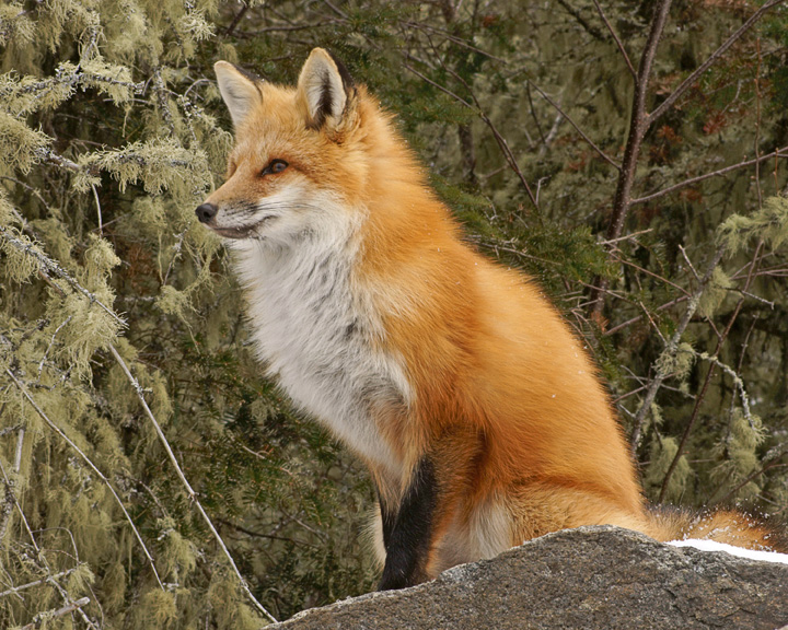 Friendly Foxes 004<br /> <br /> This one was intent on watching a second fox coming up the trail.