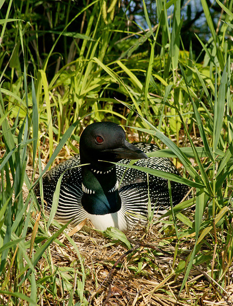 Loon Nest<br /> <br /> If they survive the first week they usually will make it to adult size. Loon chicks have many predators. Raccoons, otters, mink, gulls, crows and ravens eat loon eggs. When the babies hatch the parents must protect them from mink, otters, fish and eagles.
