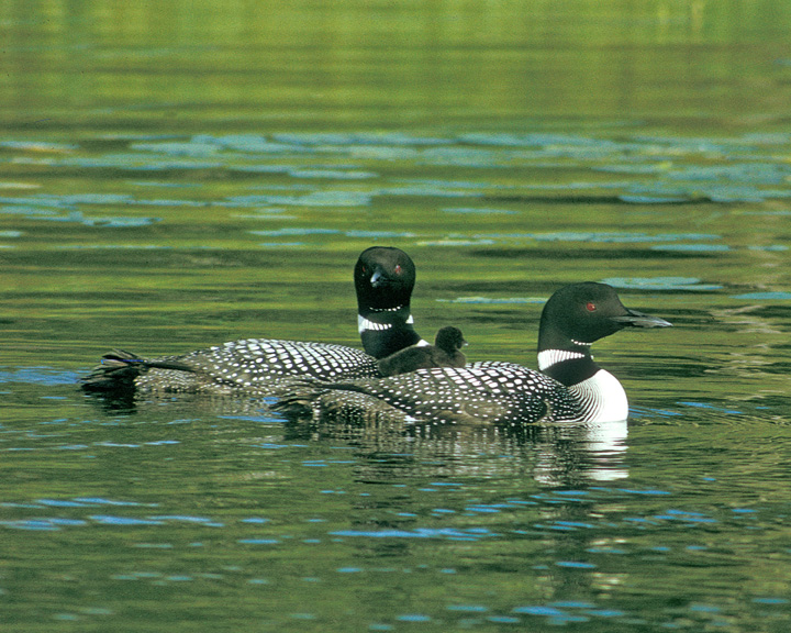 Loon Family<br /> <br /> This week I spent some time observing loons. Loons are doing well in northern Minnesota. They can be seen on nearly every lake. The loon chicks hatch in June and spend the first couple of weeks riding on their parent's back.