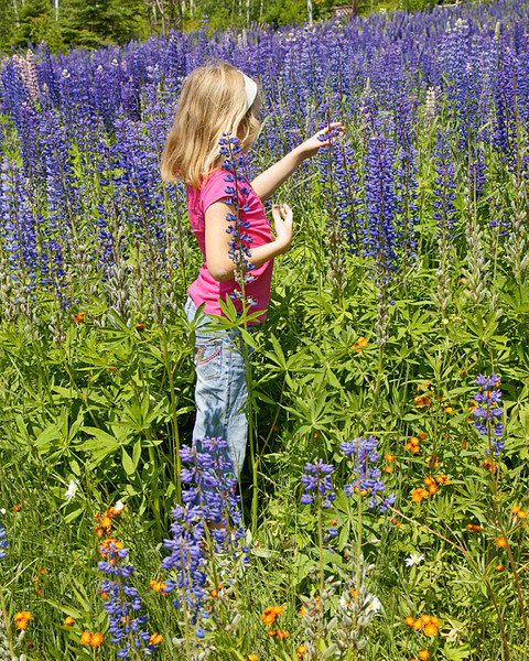 Field of Lupine 002<br /> If you want to experience an exceptional year for wild flowers take a drive up the North Shore soon. We had relatives up this last week. This is Bethany enjoying the lupine.