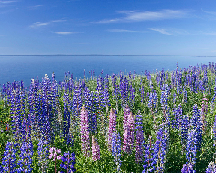 Lake Superior Lupines <br /> <br /> The lupines are so beautiful. Many people have commented on the amount and color of the lupines this year.