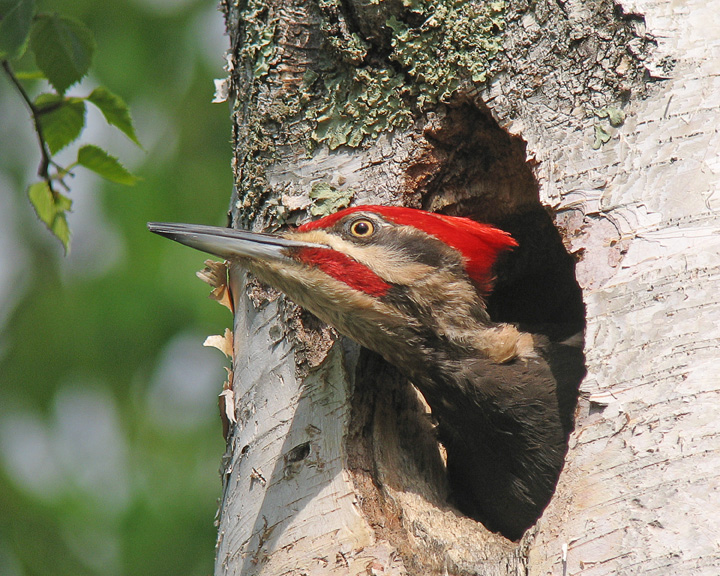 Pileated Woodpecker Male 001<br /> <br /> It is easy to tell the male from the female since the male has the red mustache as seen here in this photo. Several bird books say that they both build the nest but they must count supervision because I have only seen the male actually doing the grunt work. The female will check the nest periodically giving signs of approval and the male then gets back to work.