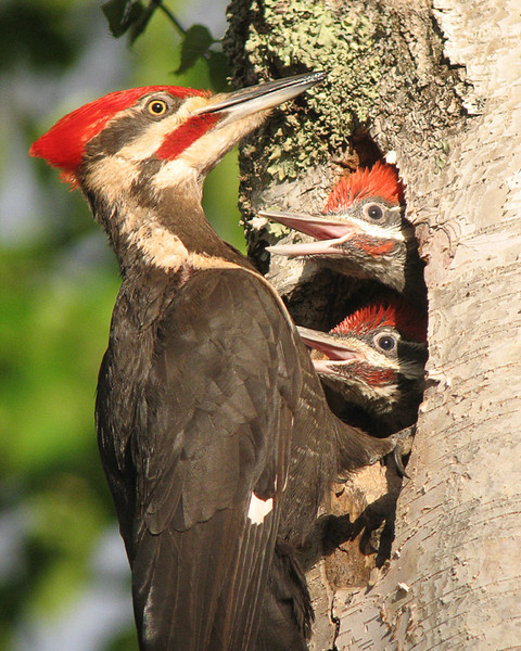 Male Pileated Feeding Young 001<br /> <br /> The pileated woodpecker babies are growing.