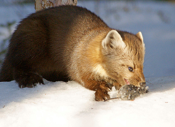 Pine Marten 004<br /> <br /> Earlier, I had put a couple of mice out in the snow that had been caught in mouse traps. It didn't take the pine marten very long to find them.