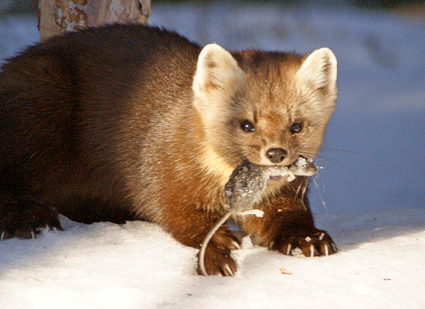Pine Marten 005<br /> <br /> I stepped outside to get better pictures. The pine marten let me get within about 20 feet before he retreated back into the spruce trees and disappeared.