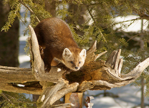 Pine Marten 002<br /> <br /> Karla and I were watching the red squirrels at our home when a pine marten surprised us. Pine marten are usually nocturnal so to see one during the day is quite rare. In the past few weeks we saw tracks around our house on several occasions but have not had the opportunity to witness the maker of those tracks.