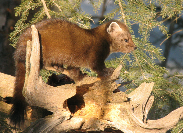 Pine Marten 001<br /> <br /> At this time of year we start to have warmer days with more sunlight. It just beckons to you to get out and enjoy the longer evenings. Wildlife seem to enjoy the longer days also as they become more active.