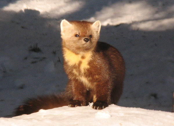 Pine Marten 003<br /> <br /> We watched from the house for several minutes as he looked around for something to eat. Red squirrels are one of the pine martens main prey so the squirrels kept their distance.