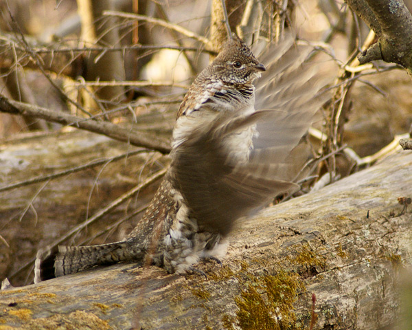 Ruffed Grouse 002<br /> <br /> A gray phase ruffed grouse has chosen a log in the Gooseberry Falls State Park campground. He has been drumming for a week. He has lost about four of his primary wing feathers in an accident so he probably cannot fly. When he drums, the air escapes through the area of the missing feathers. As a result his drumming doesn't make much of a sound. I don't think he will be able to attract many females so he will probably be drumming for quite some time. Many park visitors are enjoying seeing the grouse drum.