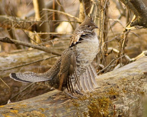 Ruffed Grouse 001<br /> <br /> With spring weather finally arriving, we are seeing a lot of wildlife along the North Shore. The ruffed grouse are actively looking for mates. I found three different logs where the male ruffed grouse performs his spring ritual called drumming. The male grouse stays in one place on the log and flaps his wings faster and faster. An implosion of air causes a drumming sound. The male drums to chase away other males and to attract the female grouse.