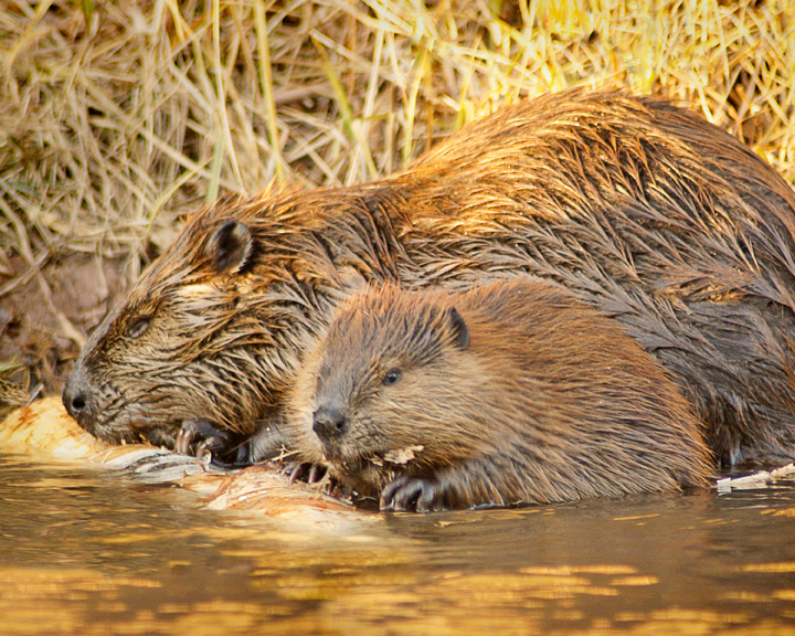 Beaver Family<br /> <br /> This family looks like they are well prepared for the long winter ahead.