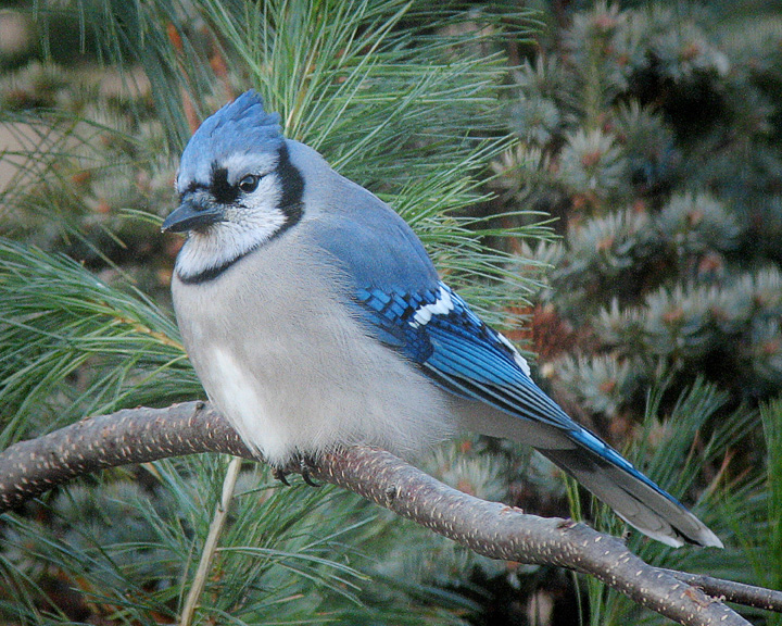 Blue Jay 003<br /> <br /> An interesting fact about the Blue Jay's color is that it does not come from a pigment in the feathers but is the result of light refraction. The internal structure of the feathers creates the blue color. If the Blue Jay feather is crushed, the blue disappears.