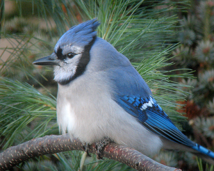 Blue Jay 002<br /> <br /> There were lots of Blue Jays on my parent's farm were I grew up. Whenever I hear a Blue Jay's call it reminds me of my childhood and the many hours I spent exploring the woods around our farm.